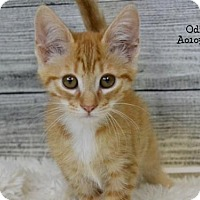 Domestic Shorthair Kitten for adoption in Conroe, Texas - Odi