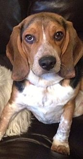 Basset Hound/Beagle Mix Dog for adoption in Little Rock, Arkansas - Ranger