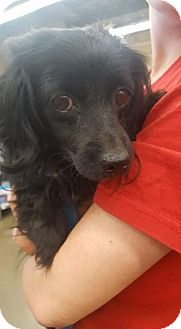 Papillon/Cocker Spaniel Mix Dog for adoption in Fresno, California - Petunia