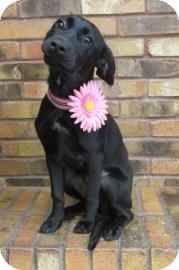 Retriever (Unknown Type)/Labrador Retriever Mix Puppy for adoption in Benbrook, Texas - Fefe
