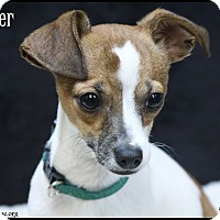 Adopt A Pet :: Prancer - Rockwall, TX