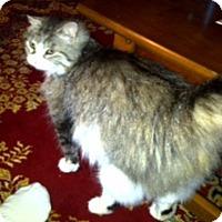 Domestic Longhair Cat for adoption in East Stroudsburg, Pennsylvania - Sable