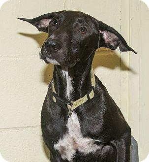 Labrador Retriever Mix Dog for adoption in Elmwood Park, New Jersey - Luli