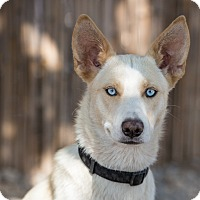 Siberian Husky Mix Dog for adoption in Cedar Crest, New Mexico - Kami