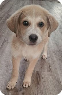 Great Pyrenees Mix Puppy for adoption in Ascutney, Vermont - Smore - Adopted!