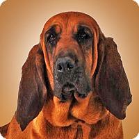 Adopt A Pet :: Bellarina - Prescott, AZ
