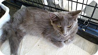 Domestic Longhair Cat for adoption in Fairborn, Ohio - Verity