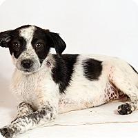 Adopt A Pet :: Hallee Heeler - St. Louis, MO