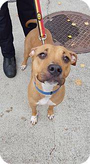 Labrador Retriever Mix Dog for adoption in Bloomfield, New Jersey - Petunia
