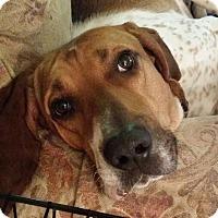 Hound (Unknown Type) Mix Dog for adoption in Grafton, Wisconsin - Jethro Gibbs
