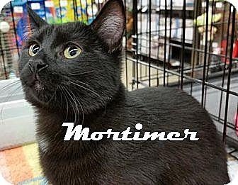 Domestic Shorthair Kitten for adoption in Houston, Texas - Mortimer