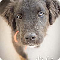 Adopt A Pet :: Dakota - DFW, TX