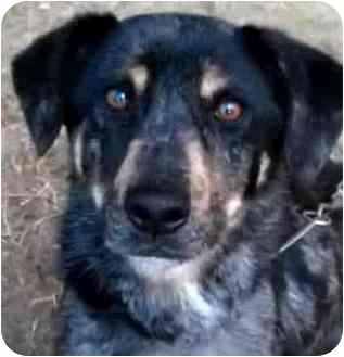 BAILEY | Adopted Dog | latrobe, PA | Rottweiler/Australian ...Australian Shepherd Rottweiler Mix Information
