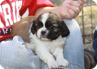 king charles spaniel shih tzu mix max adopted puppy clovis nm cavalier king charles 1558