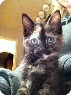 Domestic Mediumhair Kitten for adoption in Huntsville, Ontario - Sabrina - Born in October!