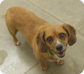 Dachshund Mix Dog for adoption in Phoenix, Arizona - Nina
