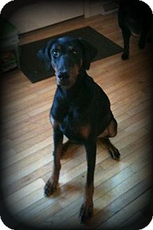 Doberman Pinscher Dog for adoption in Sinking Spring, Pennsylvania - Sophie