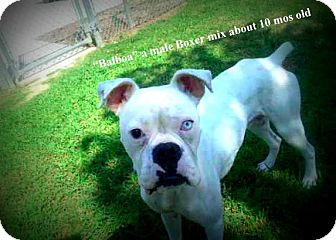 Boxer Mix Dog for adoption in Gadsden, Alabama - Balboa