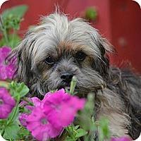 Adopt A Pet :: *Squirt - PENDING - Westport, CT