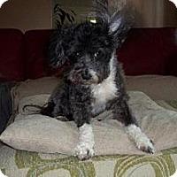 Adopt A Pet :: Penny (ME) - Gilford, NH