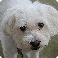 Maltese Dog for adoption in High Point, North Carolina - Hank (GA)