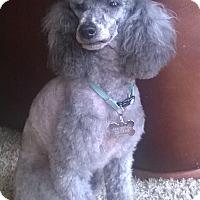 Adopt A Pet :: Callie - Adoption Pending - Gig Harbor, WA