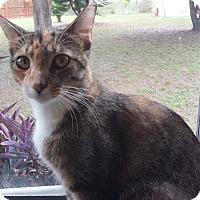 Calico Cat for adoption in Murdock, Florida - Charla