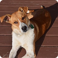 Adopt A Pet :: Layla (RS) - Windham, NH