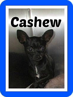 Chihuahua Dog for adoption in Shawnee Mission, Kansas - Cashew aka Cash