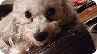 Poodle (Miniature) Mix Dog for adoption in Hazel Park, Michigan - Blondie
