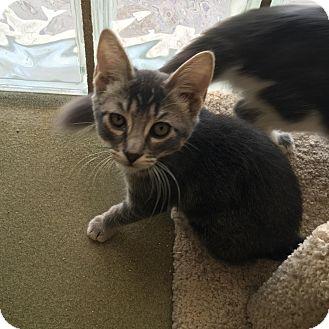 Domestic Shorthair Kitten for adoption in Westminster, California - Blanket