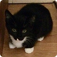 Adopt A Pet :: Female black & white kitten - Manasquan, NJ