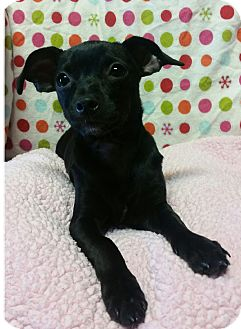 Chihuahua Mix Puppy for adoption in Los Angeles, California - Dolly