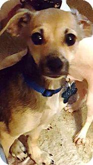 Chihuahua/Dachshund Mix Dog for adoption in Houston, Texas - Kaddie