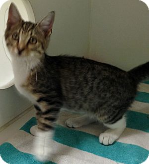 Domestic Shorthair Kitten for adoption in Putnam Hall, Florida - Harley