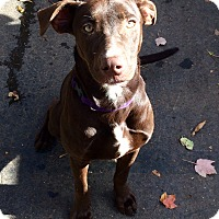 Adopt A Pet :: Cheyenne in CT - Manchester, CT