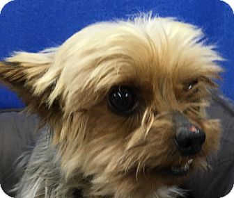 yorkie rescue kentucky lexington ky yorkie yorkshire terrier mix meet kobey 3170