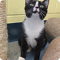 Domestic Shorthair Cat for adoption in Jackson, New Jersey - Leesa