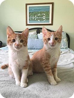 Domestic Shorthair Kitten for adoption in Orlando, Florida - Butch D
