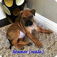 Adopt A Pet :: Boomer - Alameda, CA