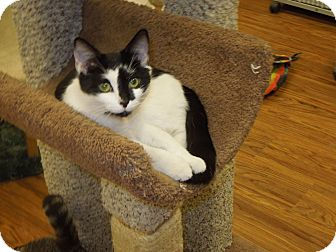 Domestic Shorthair Cat for adoption in Medina, Ohio - Diva