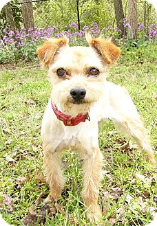 Border Terrier/Norfolk Terrier Mix Dog for adoption in Mocksville, North Carolina - Doogan