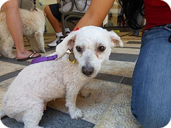 Bichon Frise/Dachshund Mix Dog for adoption in Las Vegas, Nevada - Angel