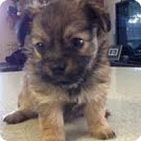 Adopt A Pet :: Jojo - Yakima, WA