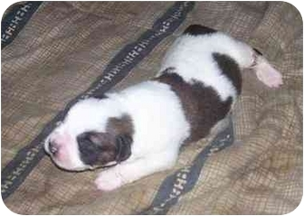 St. Bernard Puppy for adoption in Chandler, Indiana - Saint pups