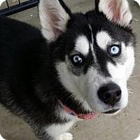 Adopt A Pet :: Bandi - Apple valley, CA