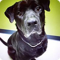 Adopt A Pet :: Bullwinkle - Issaquah, WA