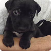 Adopt A Pet :: PUPP#1 - Hollywood, FL