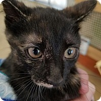 Domestic Shorthair Kitten for adoption in Warren, Michigan - Sparkle