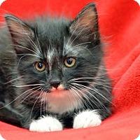 Adopt A Pet :: Midnight Star160833 - Atlanta, GA